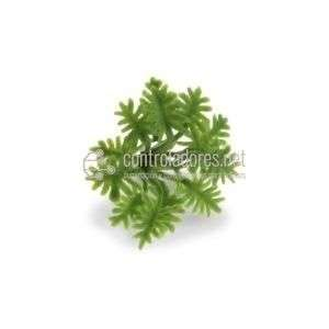 Planta verde Hoja Rizada